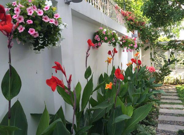 Bụi hoa dong riềng khoe sắc cùng giỏ hoa treo trên tường.