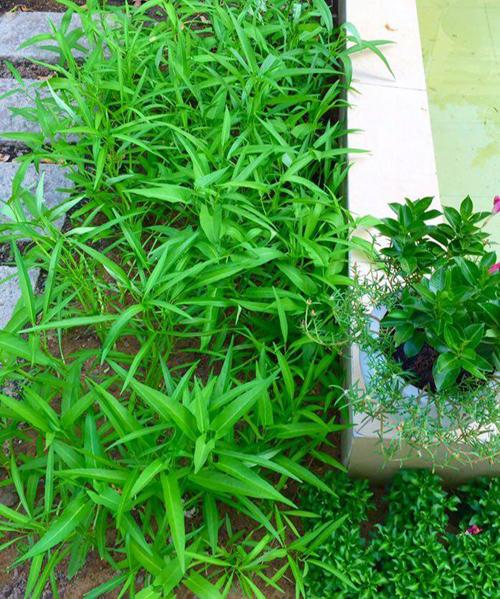 Chị Thảo tận dụng lối đi trong vườn nhà để gieo rau muống.