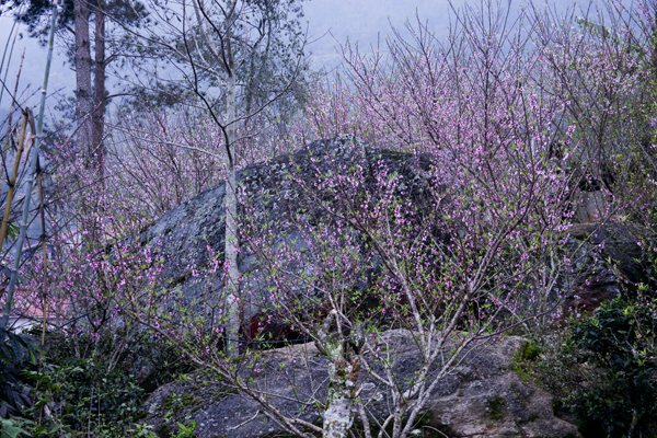 Những cây đào rừng mọc tự nhiên len lỏi giữa những tảng đá.
