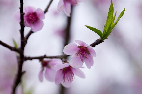 Người dân ở đây cho rằng, vì sống trong không khí lạnh nên cánh hoa đào dày dặn và thắm màu.