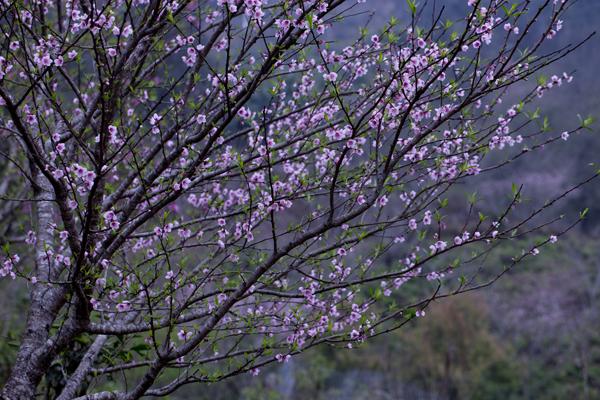 Hiện nay là thời điểm hoa đào nở đẹp nhất trên vùng núi Bắc Yên.