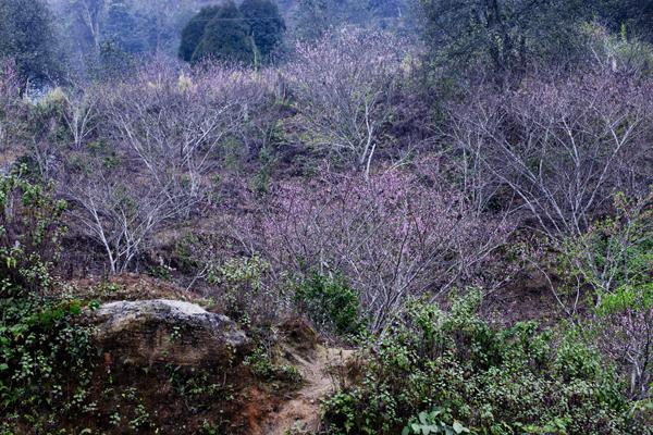 Hoa đào nở đỏ thắm, bạt ngàn trên các triền núi.