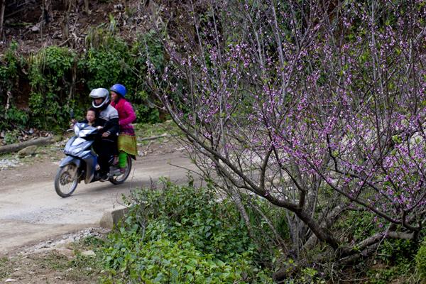 Du khách có thể chiêm ngưỡng những cây đào nở ngay ven đường.