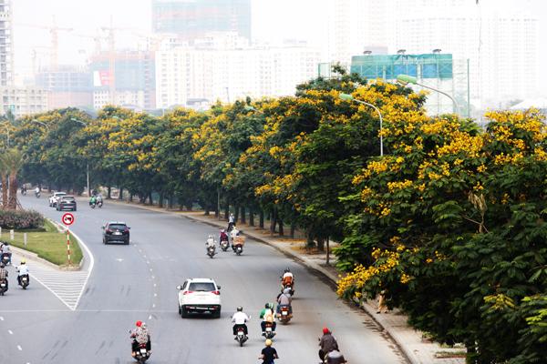 Đại Lộ Thăng Long rực rỡ với hoa điệp vàng.