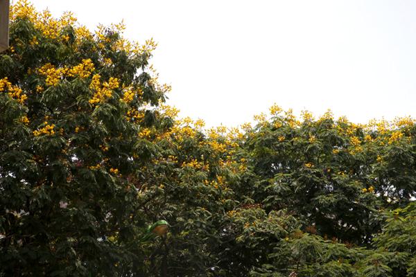 Hai bên đường Cầu Giấy, Xuân Thủy là những hàng cây điệp lâu năm.