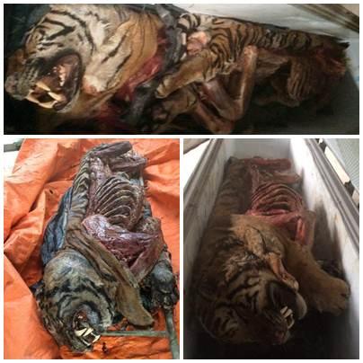 Các con hổ thu giữ tại nhà ông Toàn. Ảnh: Cơ quan công an cung cấp.