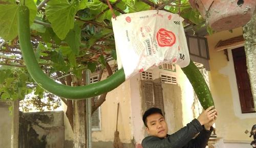 Quả bầu dài bất thường ở Thanh Hóa. Ảnh: Lam Sơn.