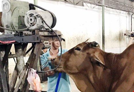 Thụy đang bơm nước vào bò.