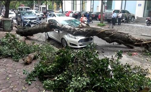 Lãnh đạo công ty cây xanh Hà Nội cho hay, cây sếu bị đổ tại ngã tư Phan Huy Chú - Lý Thường Kiệt đã bị mục rỗng ở thân và rễ. Ảnh: Sơn Dương.