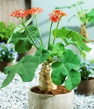 Cây ngô đồng cảnh được trồng nhiều tại Việt Nam, Trung Quốc