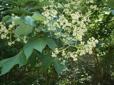 Cây ngô đồng thân gỗ thường mọc hoang trên rừng núi nơi có khí h�u ẩm, nhiều nước