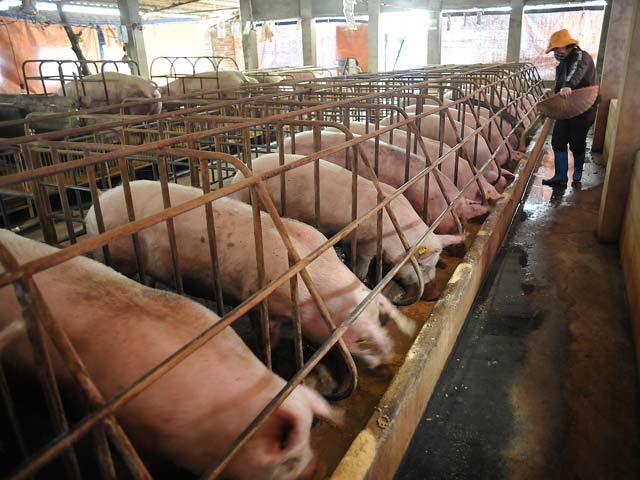 """Lợn đến lứa xuất chuồng hiện còn tồn đọng khoảng 300.000 tấn Cụ thể, giá lợn do người chăn nuôi nông hộ hay trang trại quy mô nhỏ có nơi chỉ bán được với giá từ 18.000-20.000 đồng/kg. Với mức giá này, người chăn nuôi phải chịu thua lỗ từ 1-1,5 triệu đồng/con.  Tổng hợp nhanh từ các địa phương cho thấy, hiện còn một lượng lợn thịt trọng lượng từ 100-150 kg/con, tồn đọng trong các cơ sở chăn nuôi, ước tính tương đương khoảng 300 ngàn tấn thịt hơi.  Theo ông Vân, giá lợn đang lên ở tất cả các khu vực, có khu vực tăng lên 8.000-9.000 đồng/kg, cũng có khu vực mới chỉ tăng khoảng 2.000 đồng/kg, và vẫn tiếp tục tăng. Đây là tính hiệu đáng mừng cho người chăn nuôi để họ tiếp tục vững tâm rà soát lại các động lực phát triển và tiếp cận vấn đề thị trường để tiêu thụ tốt thịt lợn.  """"Thời gian qua, chăn nuôi lợn ở Quảng Trị không bị khủng hoảng thiếu hay thừa, nhưng giá thành giảm còn 18.000-20.000 đồng/kg. Khi tôi đang phát biểu đây, thì các trang trại lợn ở Quảng Trị cứ bán một con là lỗ 1 triệu đồng"""", đại diện sở NN-PTNT Quảng Trị chia sẻ.  Thực tế, suốt từ đầu 2017 đến nay, giá thịt lợn hơi xuất chuồng tại các địa phương đồng loạt giảm mạnh do """"khủng hoảng thừa"""", kéo theo người chăn nuôi lợn chịu thua lỗ nặng. Nhiều hộ còn đứng bên bờ vực phá sản.  Để cứu người chăn nuôi , giúp họ vượt qua khó khăn, Bộ NN-PTNT đã kêu gọi các bộ ngành, doanh nghiệp cũng như người dân chung tay giải cứu thịt lợn, ưu tiên ăn thịt lợn vào thời điểm này. Cũng chính vì thế, giá thịt lợn hơn đã bắt nhích dần lên 5.000-7.000 đồng/kg.  Theo B.H  Vietnamnet"""