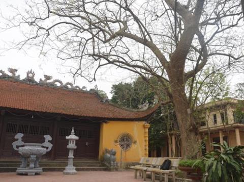 Cây sưa 400 tuổi của làng Đông Cốc