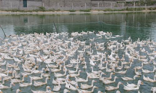 Một trang trại vịt ở huyện Yên Thành. Ảnh: Hải Bình.
