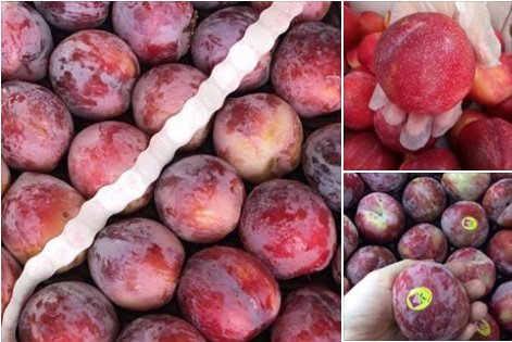 Các loại mận nhập khẩu đang được bày bán tràn lan trên thị trường với giá từ 250.000-900.000 đồng/kg tùy loại