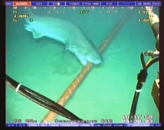 Cá mập là kẻ thù truyền kiếp của cáp mạng dưới biển. Ảnh: YouTube.