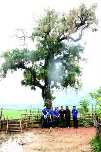 Ở cuối Bản Tỉn Pù (tiếng Thái gọi là bản ở chân dốc) xã Quang Phong, Quế Phong (Nghệ An) có cây lộc vừng cổ thụ cao khoảng 19 mét, chu vi gốc 320 cm, đường kính 1,6 mét. Gốc cây sù sì và đã rỗng ruột theo thời gian.