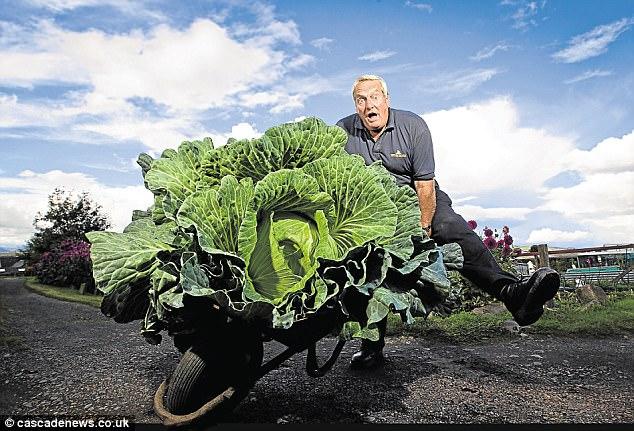 Ông Bryan Calder hài hước chụp ảnh cùng cây bắp cải khổng lồ mà mình trồng được.