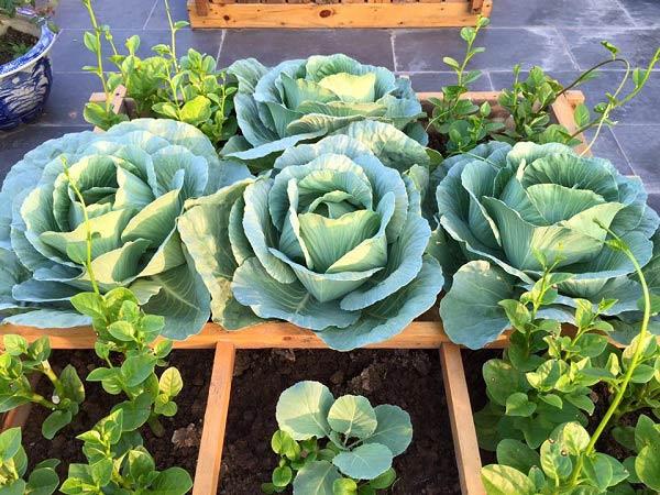 Chị em hoàn toàn có thể trồng bắp cải trong thùng xốp có đục các lỗ nhỏ dưới đáy.