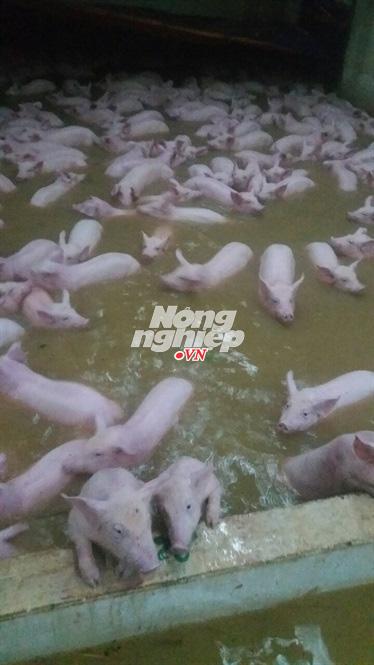Hàng trăm con lợn bơi trong nước lũ tại Thanh Hóa. Ảnh: Báo Nông nghiệp VN