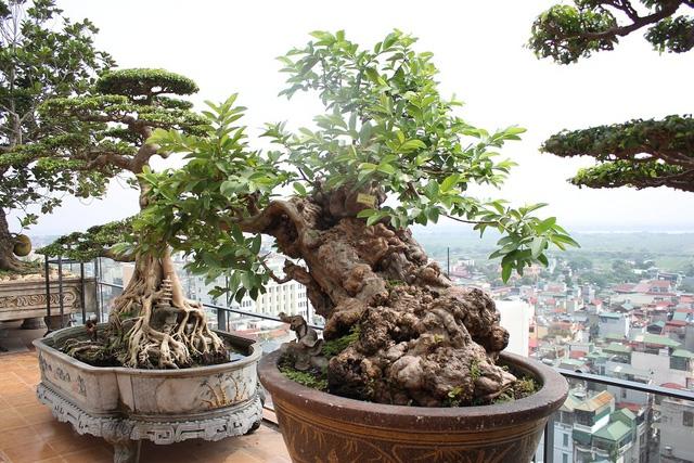 Thế Bạt phong của cây ổi của nhà ông Nguyễn Gia Thọ. Ảnh: Dân Trí