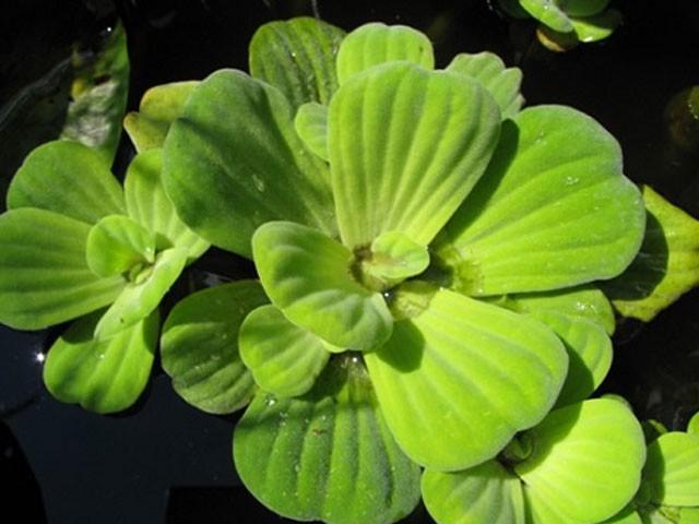 Qua kinh nghiệm thực tế, người ta cũng phát hiện ra rằng loại cây này có tác dụng làm thuốc rất hiệu quả.