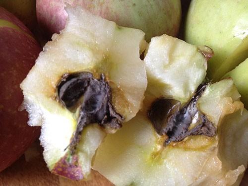 Những trái táo hạt đã mốc xanh nhưng vỏ vẫn tươi nguyên.