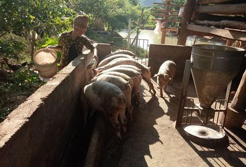 Bên cạnh trồng cây ăn quả, chị Quàng Thị Hưng còn chăn nuôi lợn có thêm thu nhập. Ảnh: Vi Định
