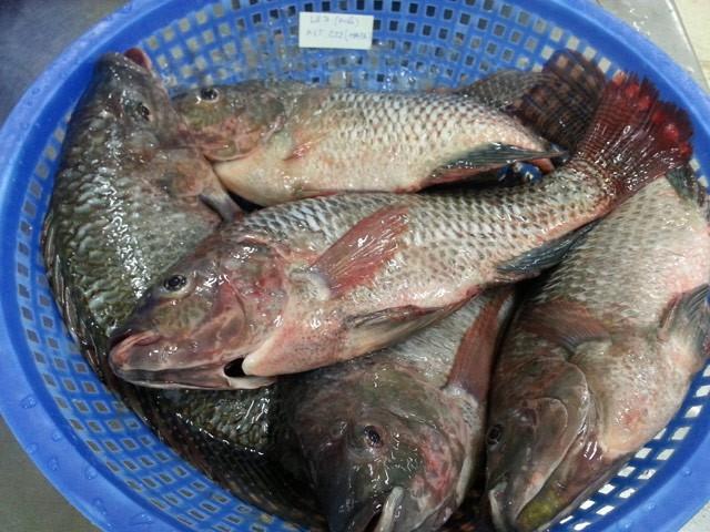 5 loài sinh vật ngoại lai nguy hại ở một tỉnh miền Tây