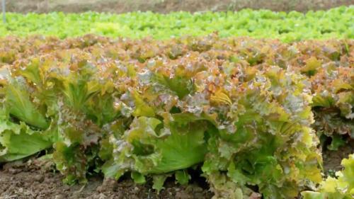 Bảo quản rau ăn lá bằng giấy ăn. Ảnh: Bizmedia.