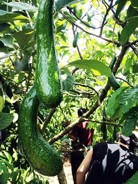 Bơ BLD034 trong vườn của ông Nguyễn Đăng Trung