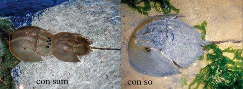 Con so biển và sam biển giống nhau nên nhiều người dễ lầm tưởng