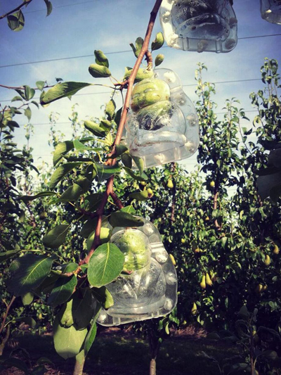 Khi trái còn non, bạn sẽ cố định các khuôn này vào cây. Quả sẽ dần dần phát triển, chiếm đầy khuôn và có hình dạng bạn mong muốn.