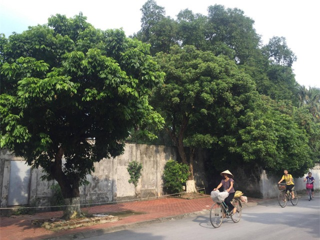 Cây nhãn lồng ở bờ hồ phố Hiến thành phố Hưng Yên cũng chẳng ra quả do mất mùa