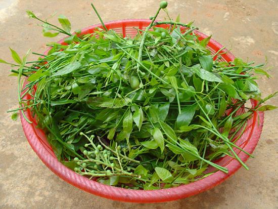 Để mua được rau sắng không hề dễ dù có tiền. Ảnh: vuonquocgiaxuanson.
