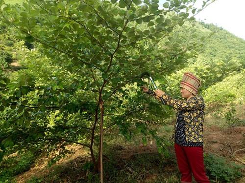 Chị Quàng Thị Hưng chăm sóc vườn táo của gia đình.