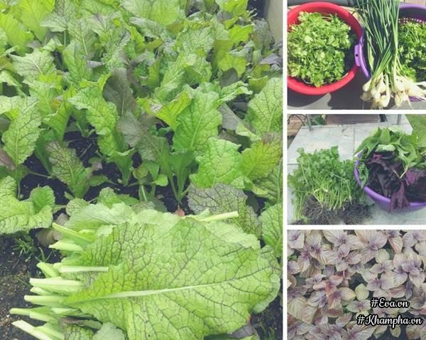 Rau tía tô, kinh giới và một số loại rau thơm khác mọc tốt um trong khu vườn.