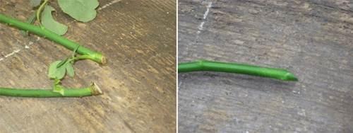 Phần gốc của cành chiết được giâm xuống đất cho cây phát triển tốt nhất là có một gốc nhánh ở dưới (hình trái), còn nếu là cành chiết thông thường thì bạn nên cắt vát phần gốc (hình phải).