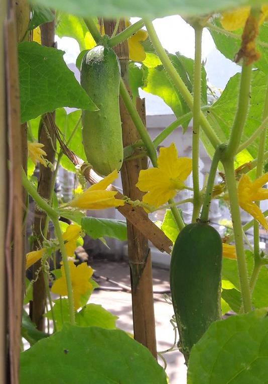 Phí dưới, anh trồng các loại đỗ, rau ăn lá và dưa chuột