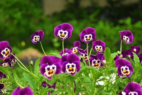 Hoa này được trồng nhiều ở Đà Lạt và chúng thường nở vào mùa khô từ tháng 11 đến tháng 4, lúc thời tiết se se lạnh.