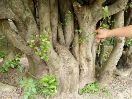 Gốc duối sần xù, hốc hác toát lên vẻ cố kính, song ở chính cái gốc sần xù ấy vẫn đang nảy lên những chồi lộc non xanh, thể hiện sự sinh sôi nảy nở và sức sống trường tồn của cây.