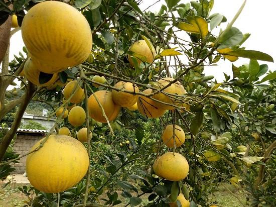 Những cây bưởi Diễn sai trĩu quả trong vườn nhà anh Mai Văn San.