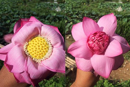 Vạch cánh hoa ra là bạn có thể nhận ra ngay hoa sen (bên phải) và hoa quỳ (bên trái).