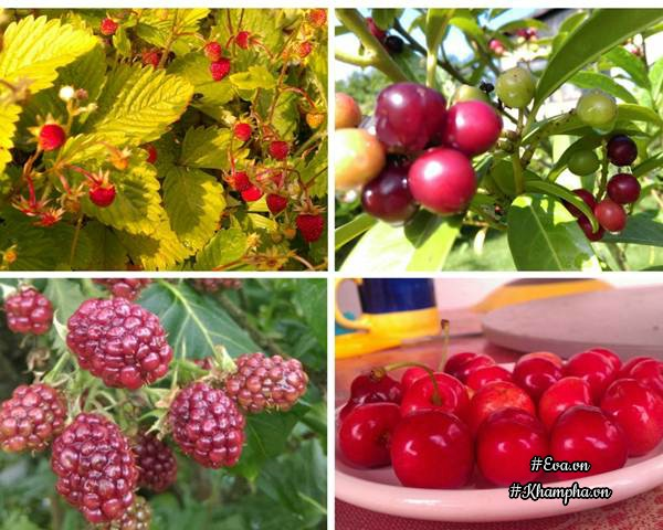 Các loại cây ăn trái trong khu vườn của anh năm nào cũng sai quả.