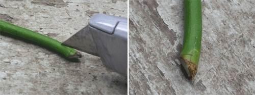 Dùng dao rọc khía 2-3 đường dọc xung quanh gốc cành chiết như hình.
