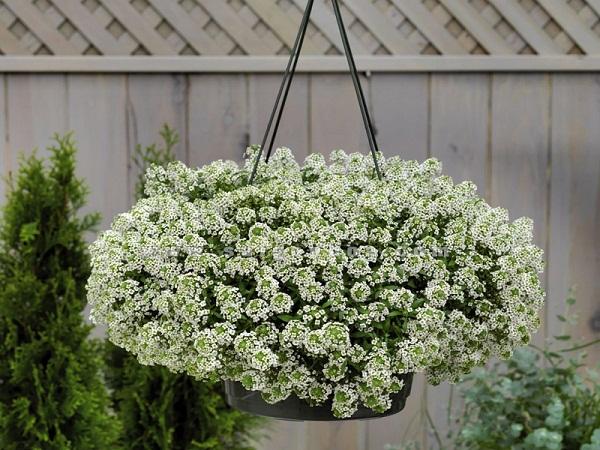 Loại hoa này rất dễ trồng và tốn ít công chăm sóc, hoa mọc dày xum xuê, trồng trong chậu treo rất dễ trang trí trên ban công.