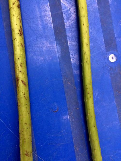 Thân quỳ (bên trái) to và có nhiều gai sần sùi hơn thân sen (bên phải).