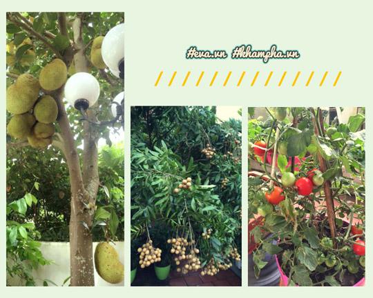 Không chỉ trồng hoa, khu vườn của chị Điệp còn có nhiều loại cây ăn quả tươi tốt.