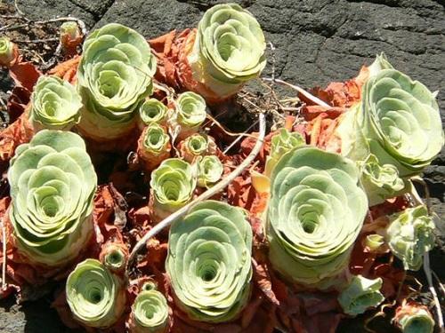 Nếu bạn để cây sống trong nhiệt độ quá cao, lá cây dần mất đi lượng nước dự trữ, cong vào và khô héo.