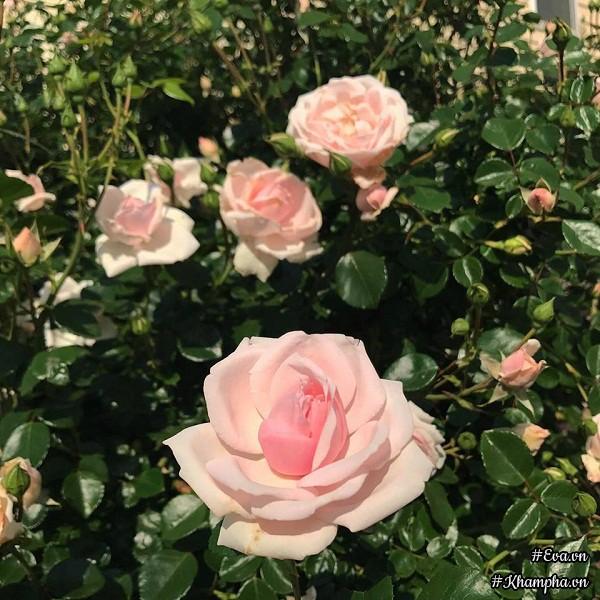 ...chị Quỳnh còn trồng được rất nhiều loài hoa khác.